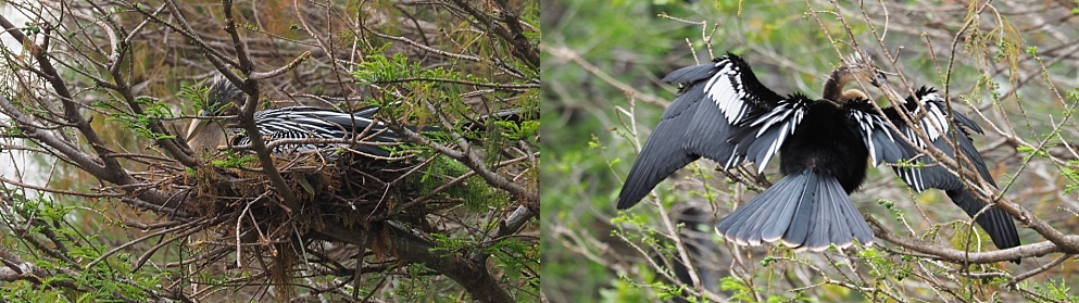 2-photo collage of nesting anhinga pair