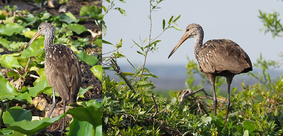 2-photo collage of limpkin in swamp