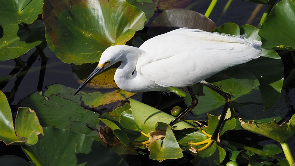 Snowy egret in hunting mode