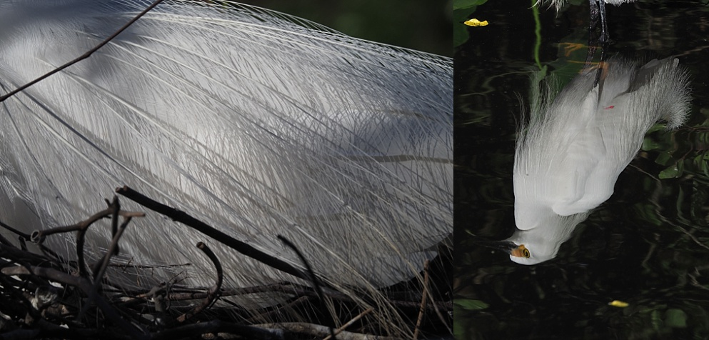 2-photo collage of egret