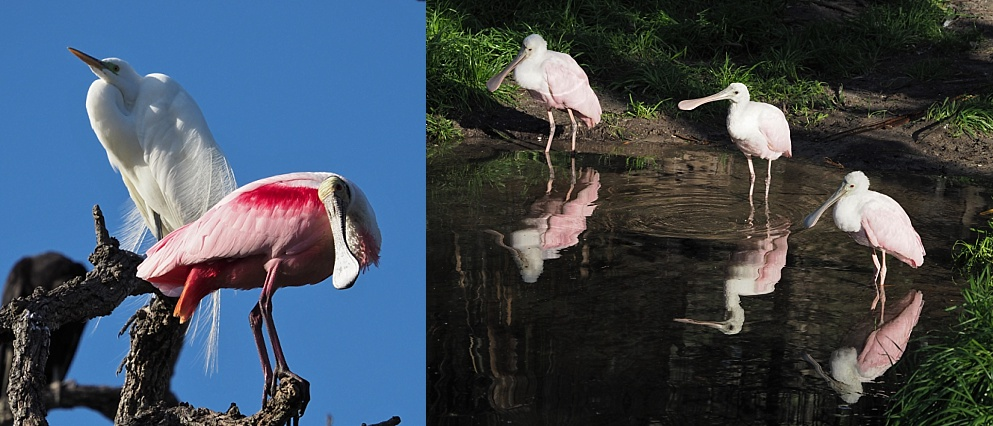 2-photo collage of roseate spoonbills