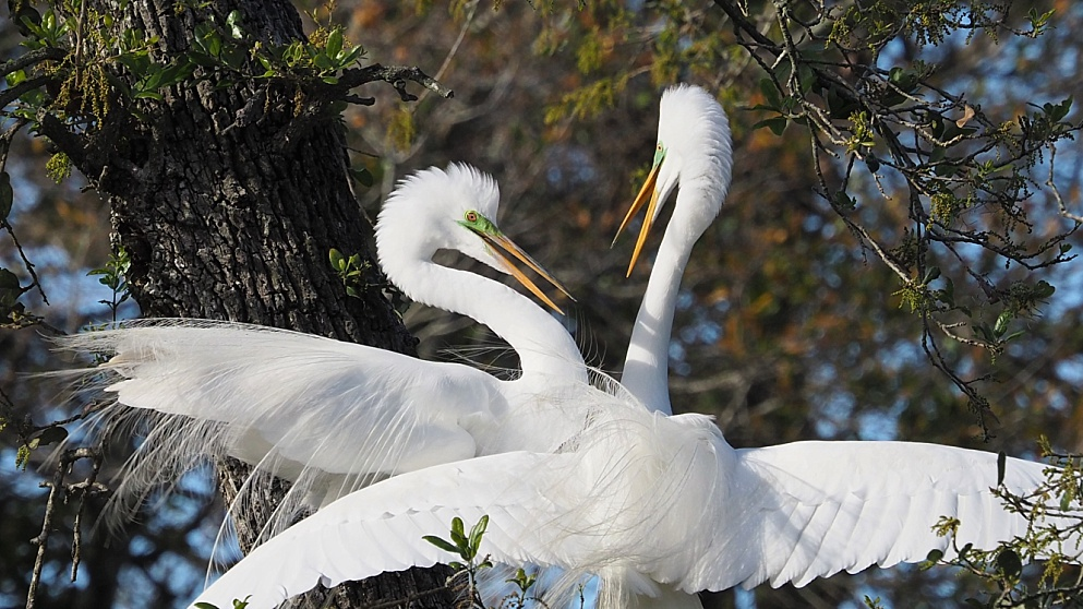 Great egrets, mating