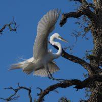 Egret landing lightly on branch