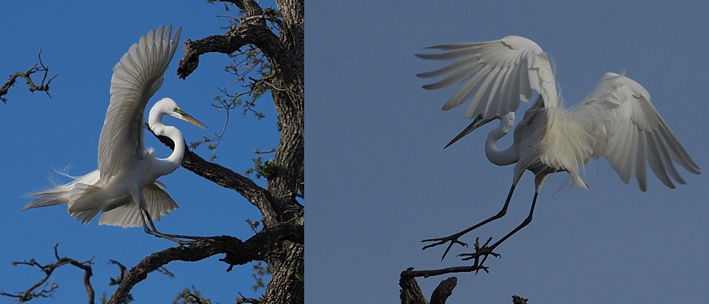 2-photo collage of egrets landing on branches