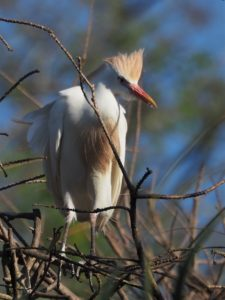 Cattle egret in breeding colours