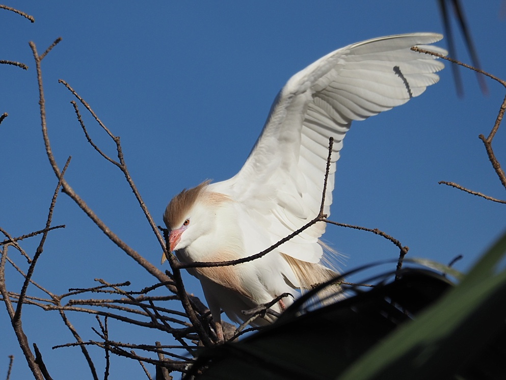 Cattle egret in breeding colours, obscured by branches