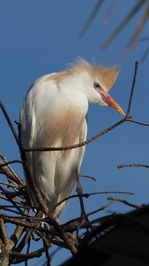 Cattle egret posing with branch