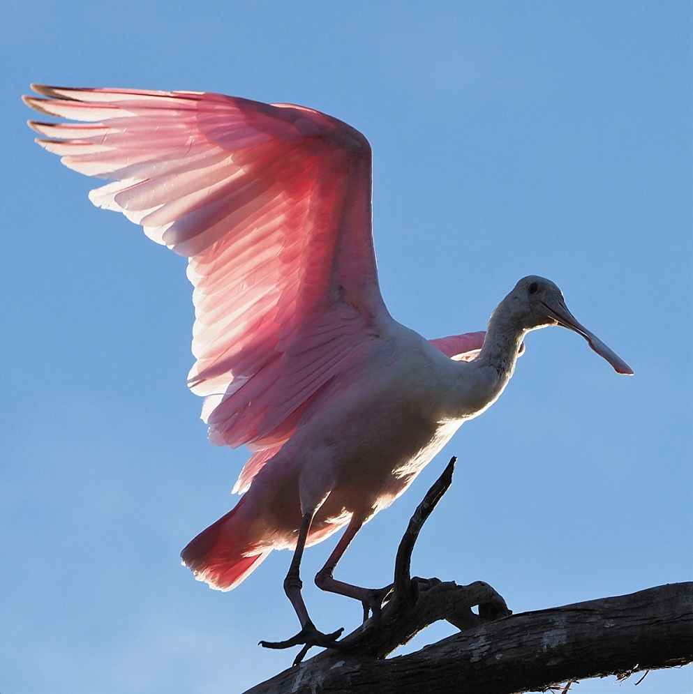Roseate spoonbill, wings flared and backlit