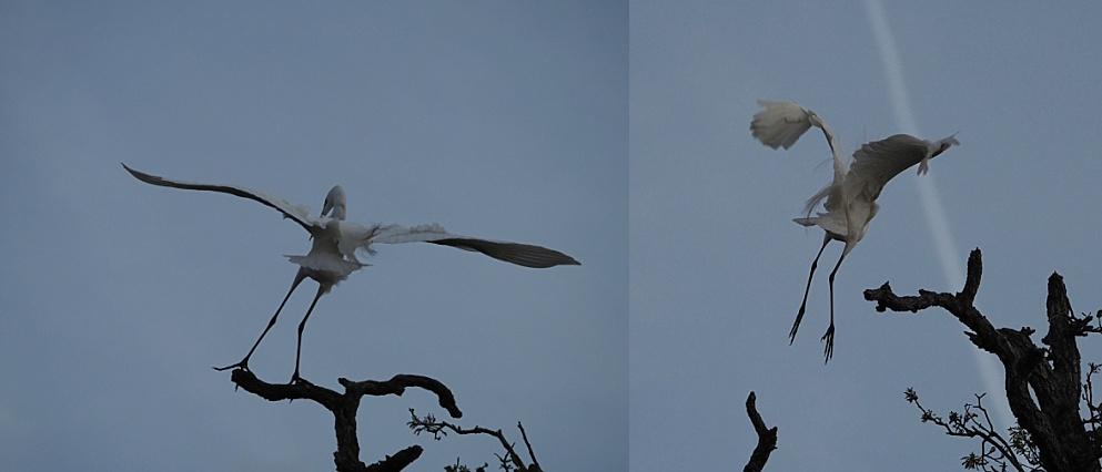 2-photo collage of egret landing