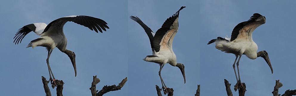 3-photo collage showing wood stork landing and balancing