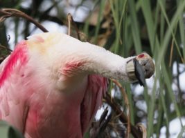 Roseate spoonbill with a fishy stare