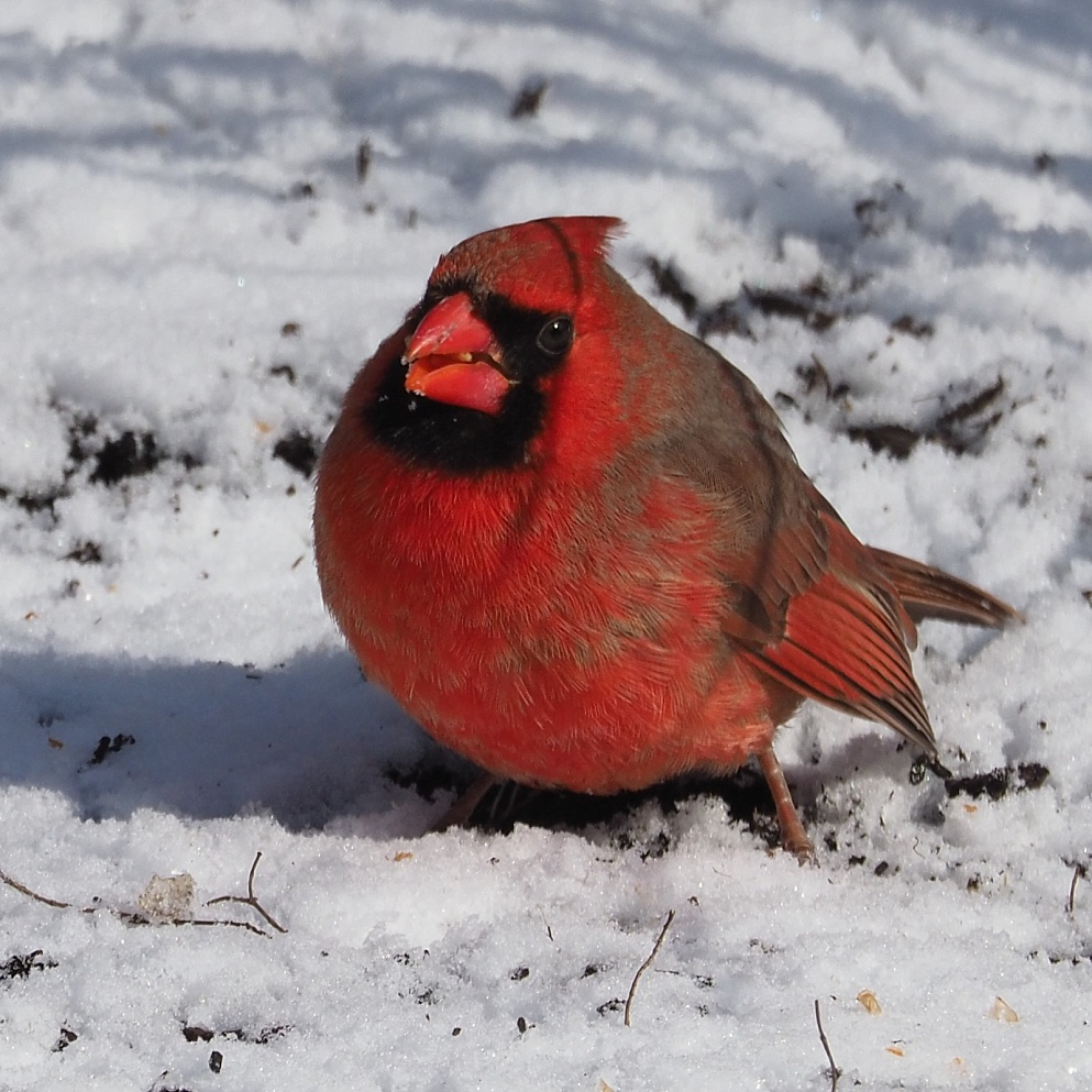 Norterhn cardinal feeding on ground
