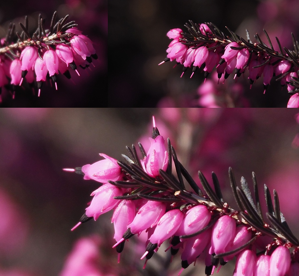 3-photo collage of heather's first bloom