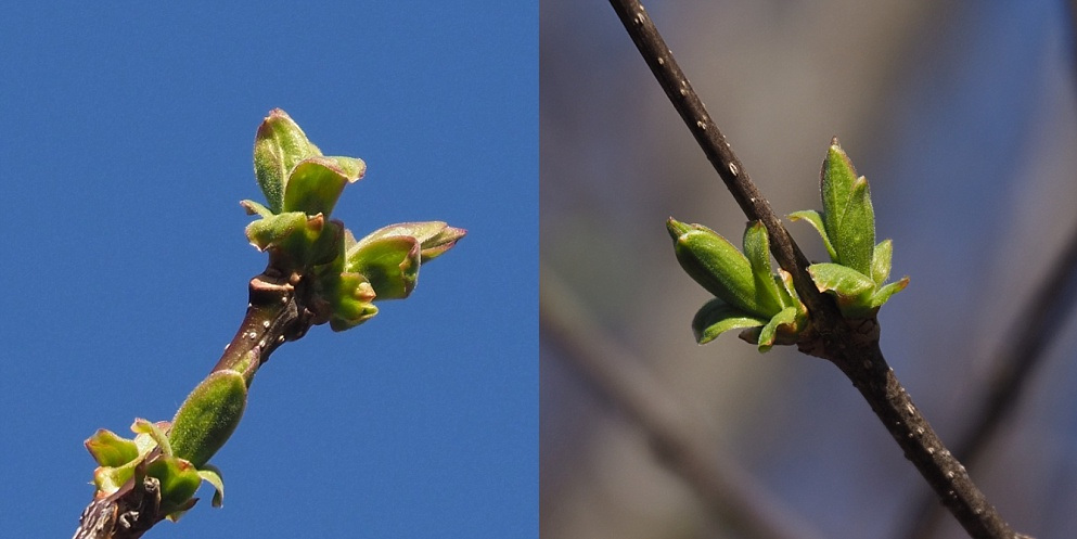 2-photo collage of Japanese lilac leafing out