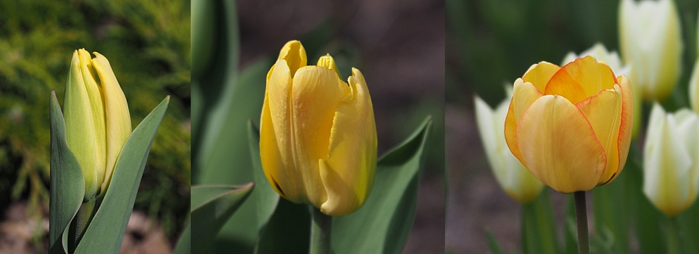3-photo collage of tulips at different stages of opening