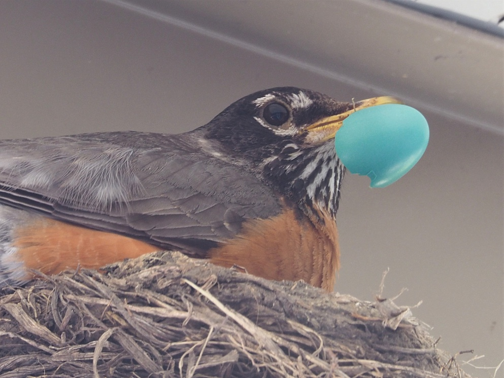 Robin with fragment of egg after hatching
