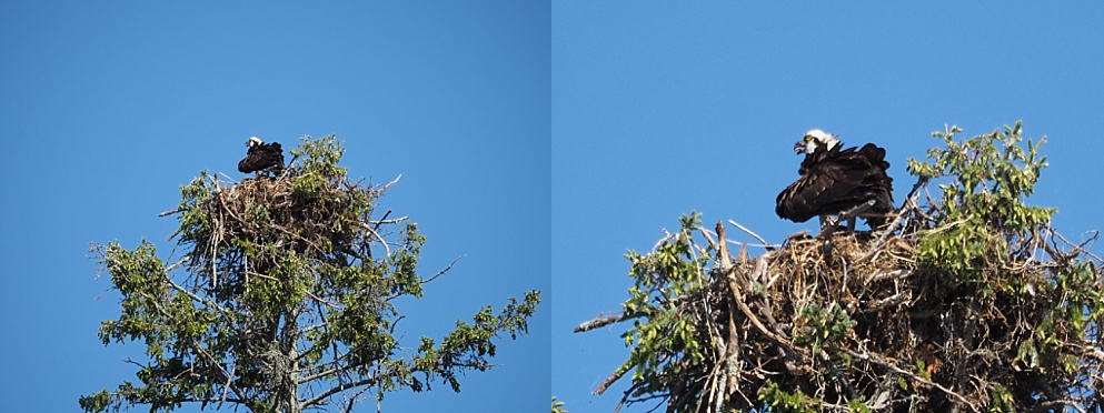 Osprey in messy nest atop a white spruce