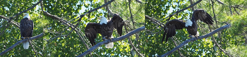 Bald eagle launching from tree