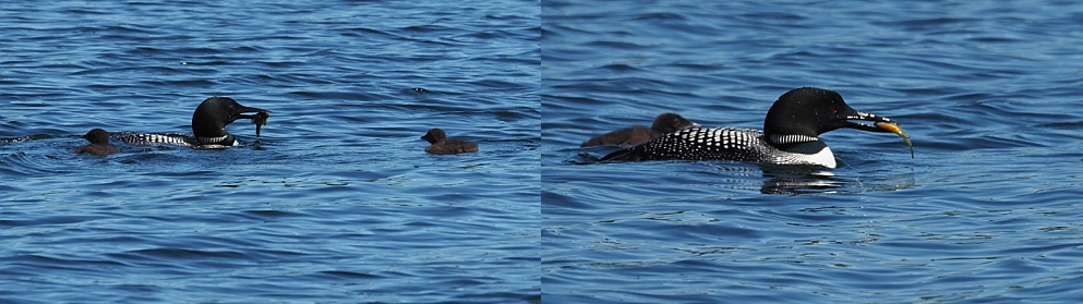 Adult loon feeding two babies