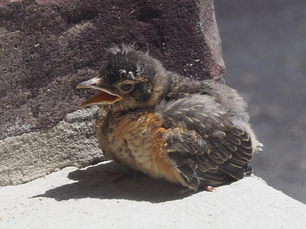 Baby robin on porch