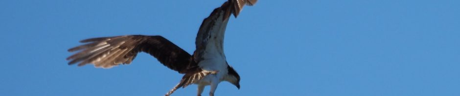 Osprey in landing mode