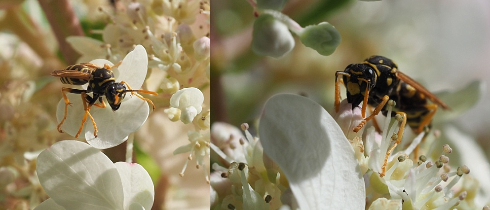 2-phoot collage of nectar-sucking wasp