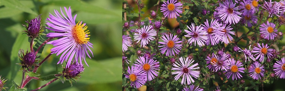 2-photo collage of purple New England Asters