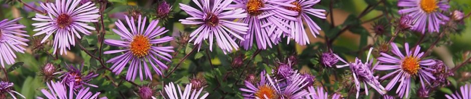 Full-frame close-up of purple asters