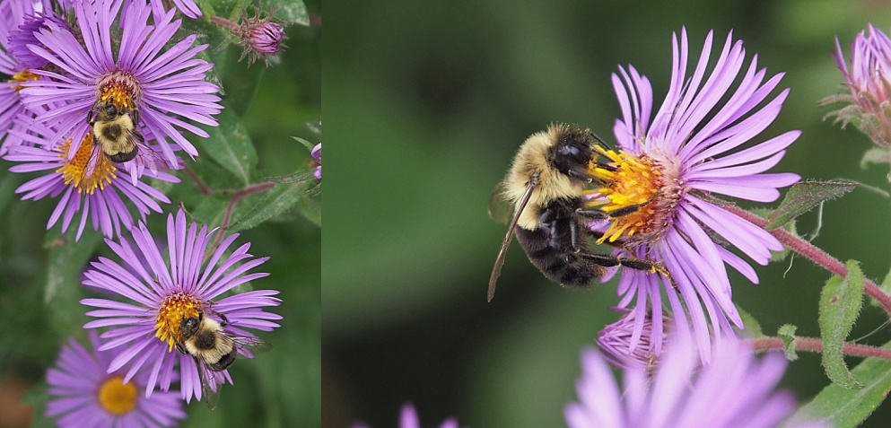 2-photo collage of bees on aster blossoms