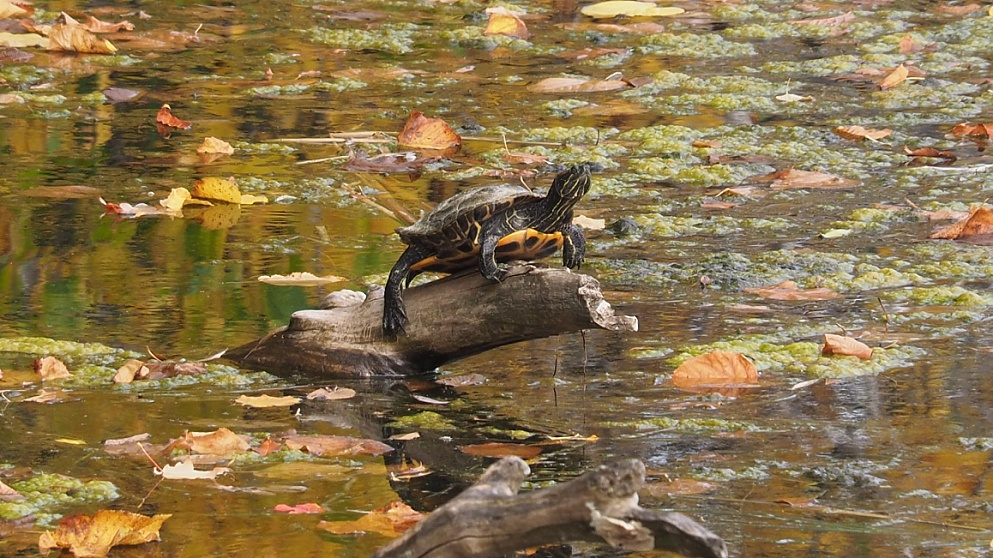 Turtle sunning on log in scummy pond