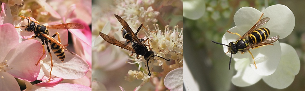 3-photo collage of wasp wings showing structure and colour