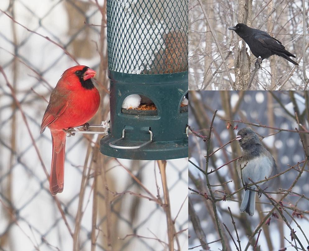 3-photo collage of backyard birds