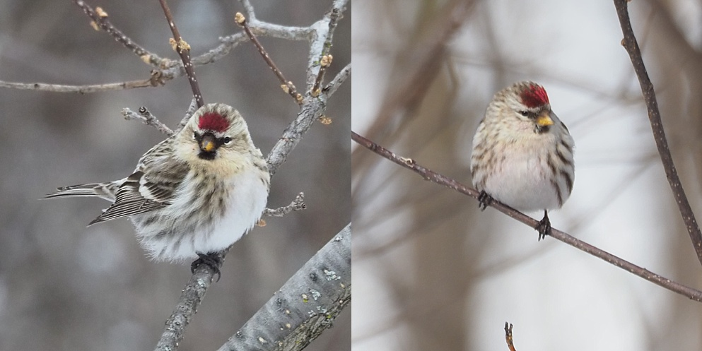 2-photo collage of redpolls