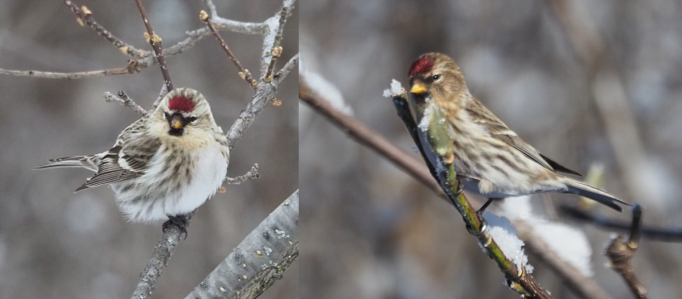 2-photo collage showing a hoary and a common redpoll