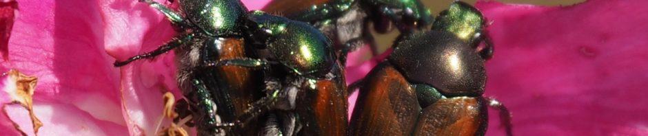 Japanese beetles making whoopee
