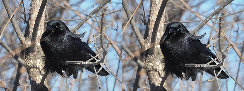 2-photo collage of crow with nictitating membrane