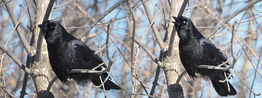 2-photo collage of crows showing nictitating membrane