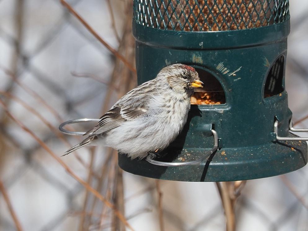 Hoary redpoll at feeder