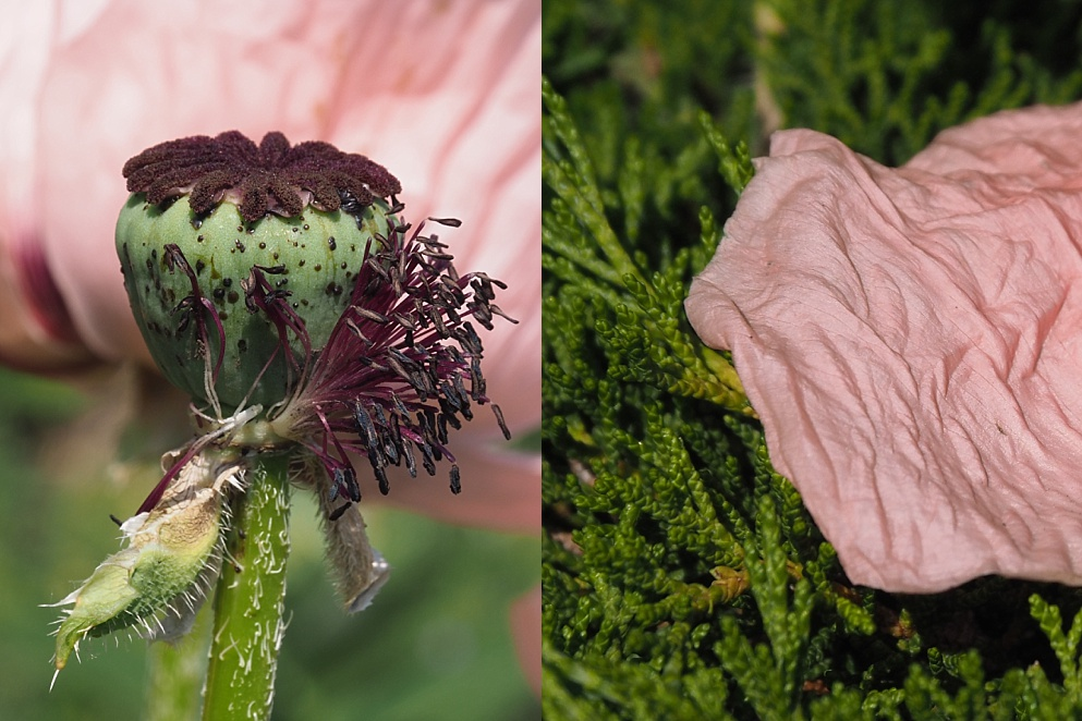 2-photo collage of poppy seed head and petal