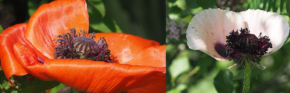 2-photo collage of CA poppies