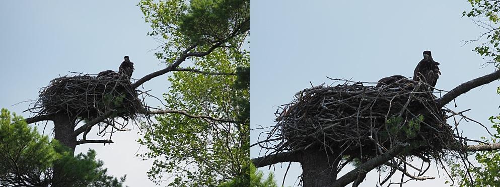 Juvenile eagle in nest.