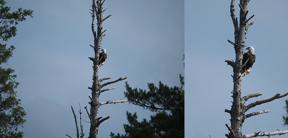 Collage of bald eagle in dead tree