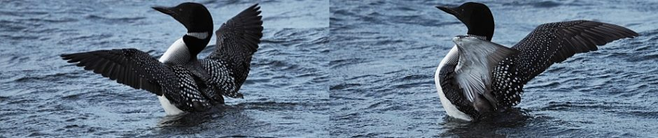 Collage of loons with wings outstretched.