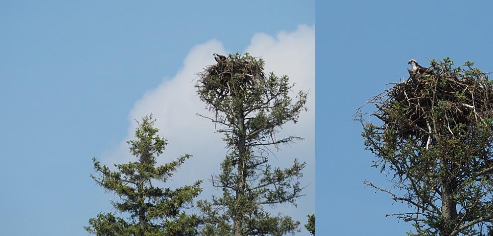 Juvenile osprey in nest